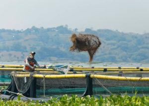 Fakta Aquafarm Nusantara yang Budidaya Ikan di Danau Toba (Facebook Regal Spring Group).
