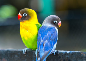 Cara Ternak Lovebird yang Modalnya Gak Sampai Rp 5 Juta (Shutterstock).