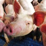 Daging Babi Guncang Ekonomi China (Shutterstock).